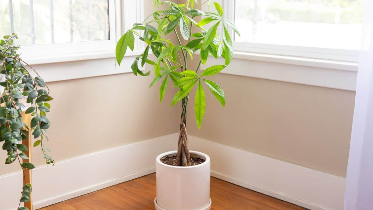 Trees_You_Can_Grow_Indoors_Amazin_Creation_